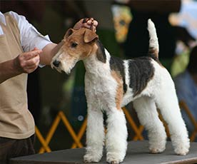 All-Breed-Dog-Show